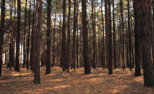 Gỗ thông là gì? Tại sao nội thất dùng gỗ thông?